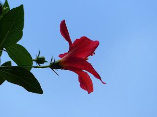 Hibiscus boryanus - Foulsapate marron - Mahot bâtard