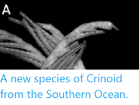 https://sciencythoughts.blogspot.com/2012/09/a-new-species-of-crinoid-from-southern.html