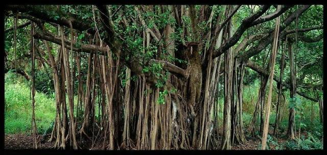 banyan-ağacının-ne-kadar-yaşar