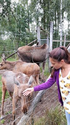 Elche streicheln und füttern in Schweden