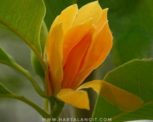 gambar kembang kantil kuning