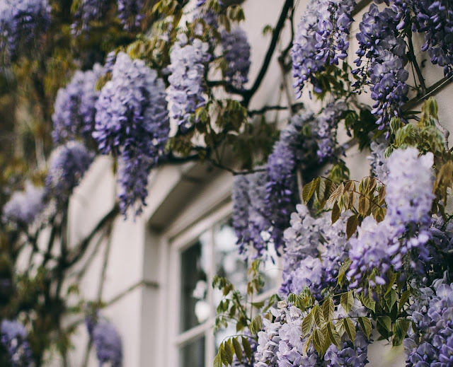 Wisteria flowers grown from Cuttings