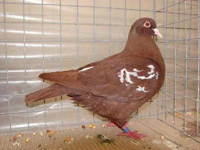 Gambar burung merpati carneau