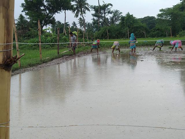 Transplanting Basmati Long Grain Rice Plants - Paddy cultivation