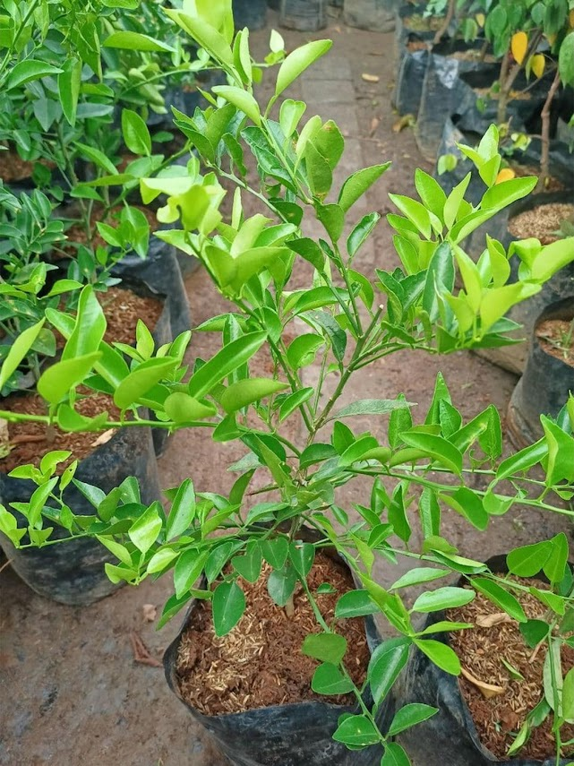 BIBIT tanaman pohon buah JERUK NIPIS limo limau keep nagami songkit sonkit purut santang madu Nusa Tenggara Barat