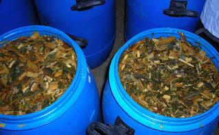 Silase Tebon Jagung dimasukkan dalam drum Madani Farm