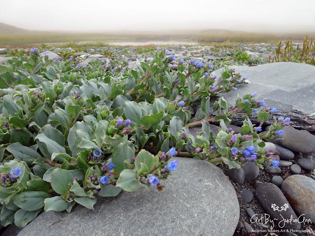 Oyster plant (Mertensia maritima; Boraginaceae)