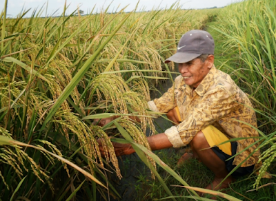 Benih Padi Unggul Usia Pendek Bagaikan Pemecahan Buat Petani