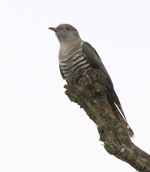 Indian birds - Image of Lesser cuckoo - Cuculus poliocephalus