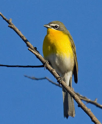 Photo of Yellow-breasted Chat in tree