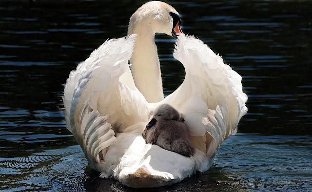 وزة بيضاء تحمل اولادها