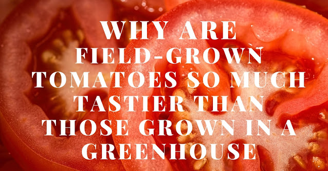 Why are field-grown tomatoes so much tastier than those grown in a greenhouse