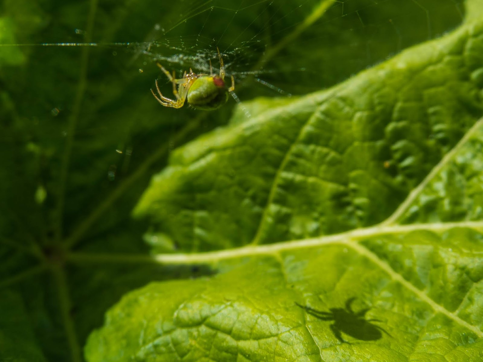 A close up of a sun lit spider in his web with his shadow casting on the leaf.