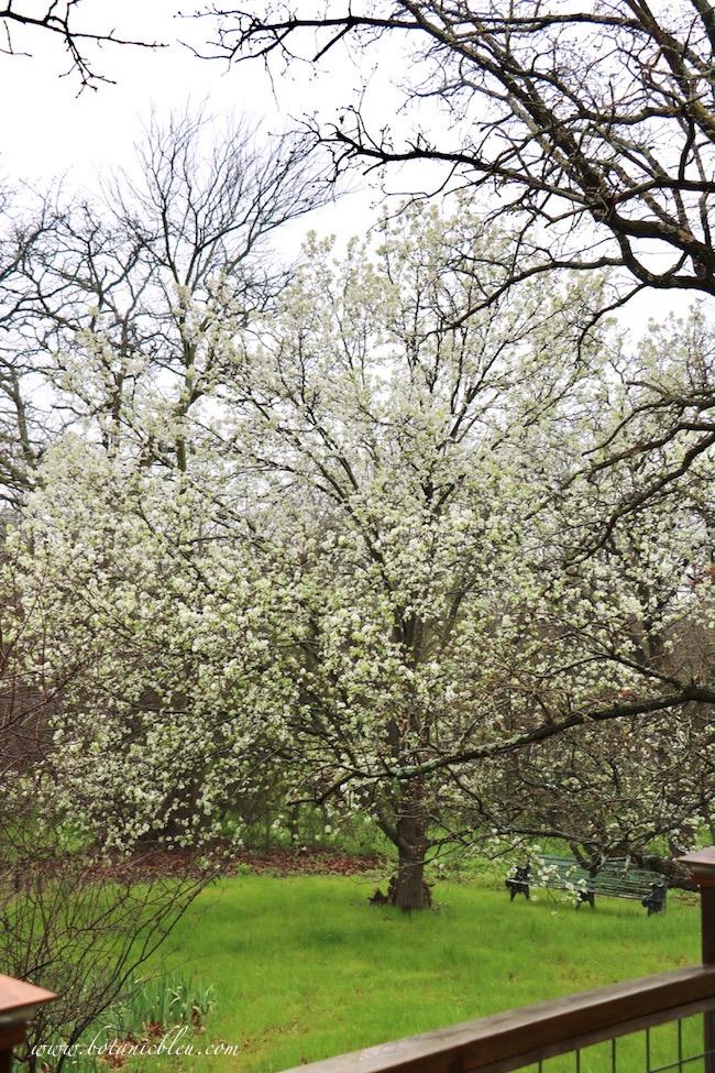 Bradford pear tree in full bloom in meadow