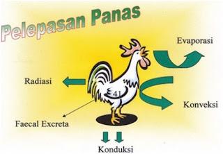 ayam mengalami stress panas kerana lingkungan panas