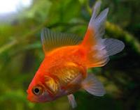 "Jenis Ikan koki Fantail "" Ekor Kipas "" tercantik"