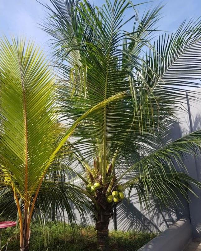 bibit kelapa hibrida super genjah Banjarmasin