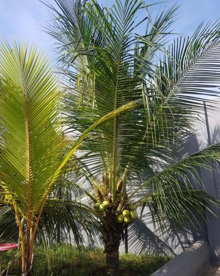 bibit kelapa hibrida super genjah Kota Administrasi Jakarta Pusat