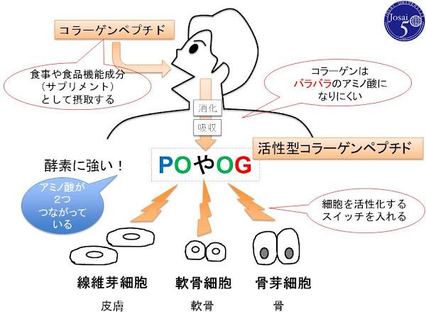 コラーゲンペプチドとPO/OG