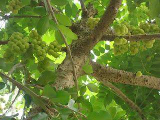 ต้นไม้ไม้มงคล ต้นมะยม