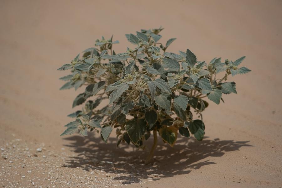 Dyer's Croton