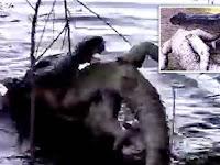 Ngeri, Buaya Besar Kanibal Telan Sesama Jenisnya