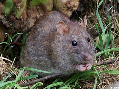 Mẹo diệt chuột an toàn hiệu quả