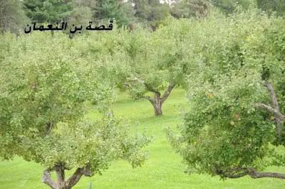 قصة ثابت بن النعمان مع التفاحة