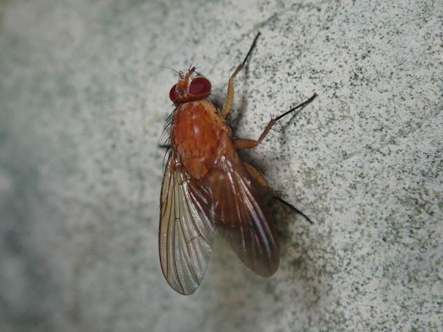 Phaonia pallida