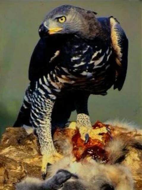 Águia Coroada: uma ave muito feroz