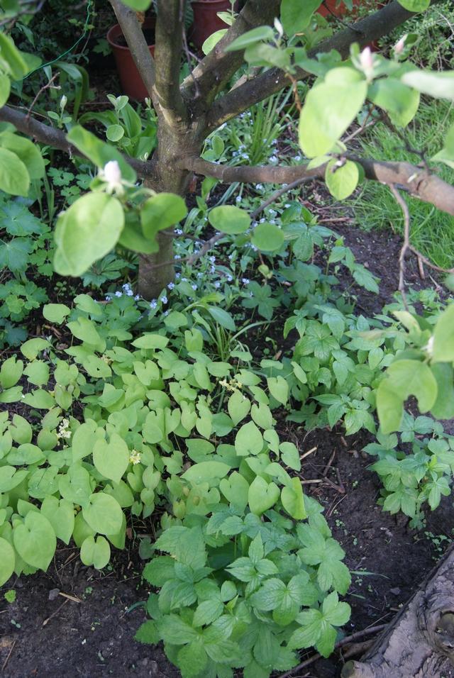 Bergwald-Storchschnabel und Schwarzmeer-Elfenblume zur Unterpflanzung von Laubbäumen