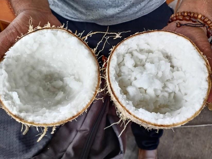 Bibit Kelapa kopyor asli Nusa Tenggara Barat