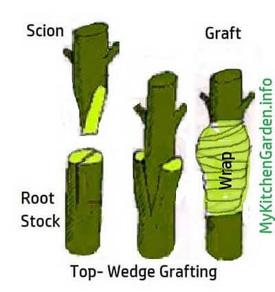 Mango grafting procedure