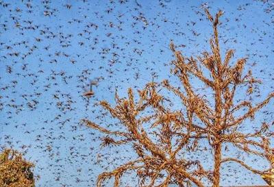Locust attack in India, History of Locust attack, Cause of  attack, Solutions -MergeZone