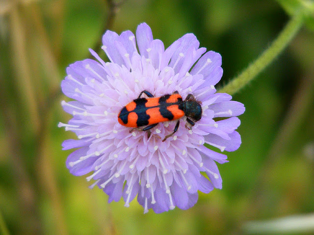Trichodes alvearius on Field Scabious Knautia arvensis. Indre et Loire. France. Photo by Loire Valley Time Travel.