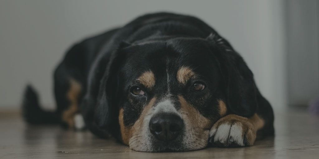 Weary dog