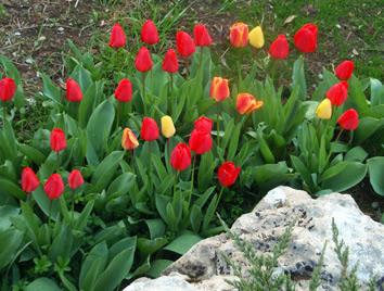 rocalla con tulipanes