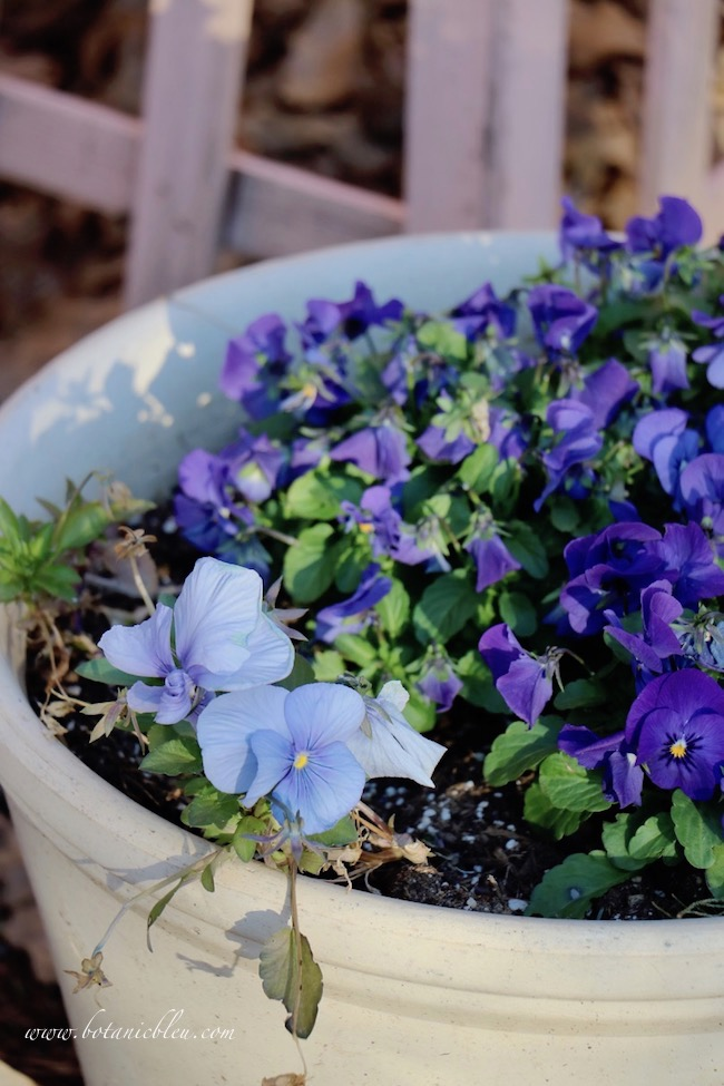 Pale blue pansies in a clay pot offer beautiful color all Winter
