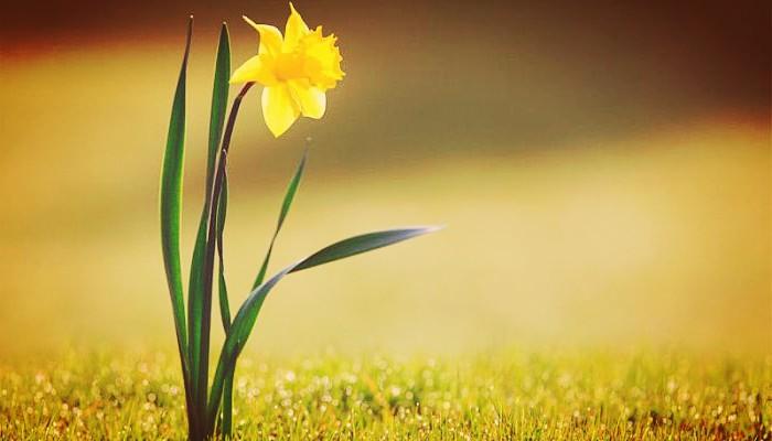 Narciso enano en jardin