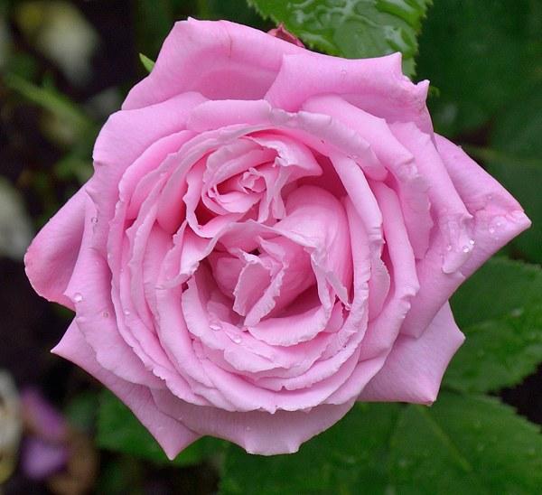 Mrs. Jon Laing роза фото