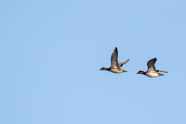 Wigeon in Flight