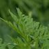 Alergičari na udaru polena korovske biljke ambrozije - VIDEO