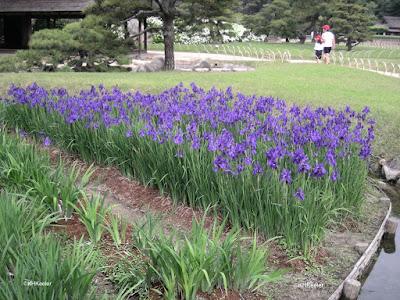 iris bed in Japan