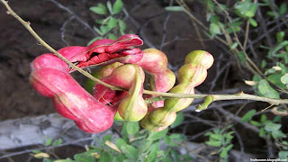 manila tamarind fruit images wallpaper