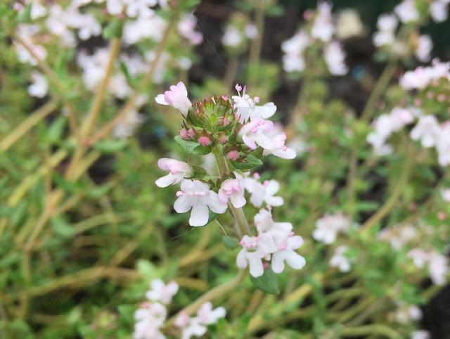 Zitronenthymian-Blüte von nah