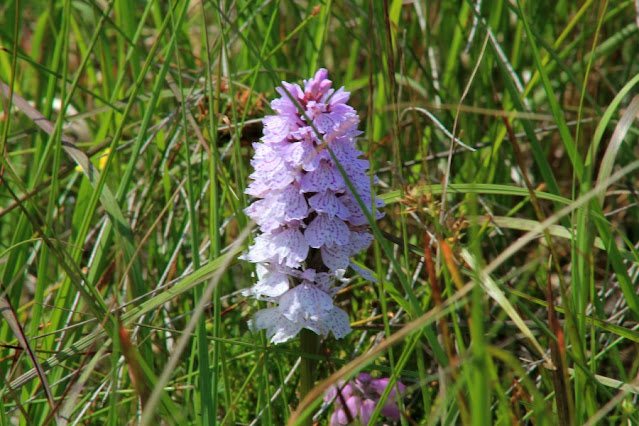 Orchid at Ballycroy
