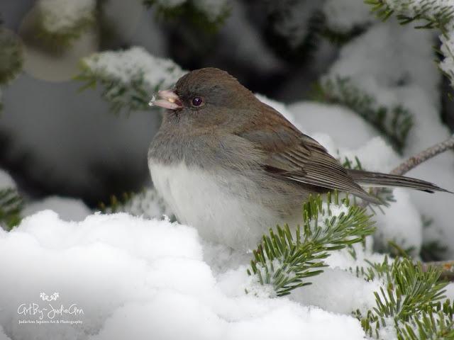 Birds In Winter Dark-eyed Junco 10 Photos + Video