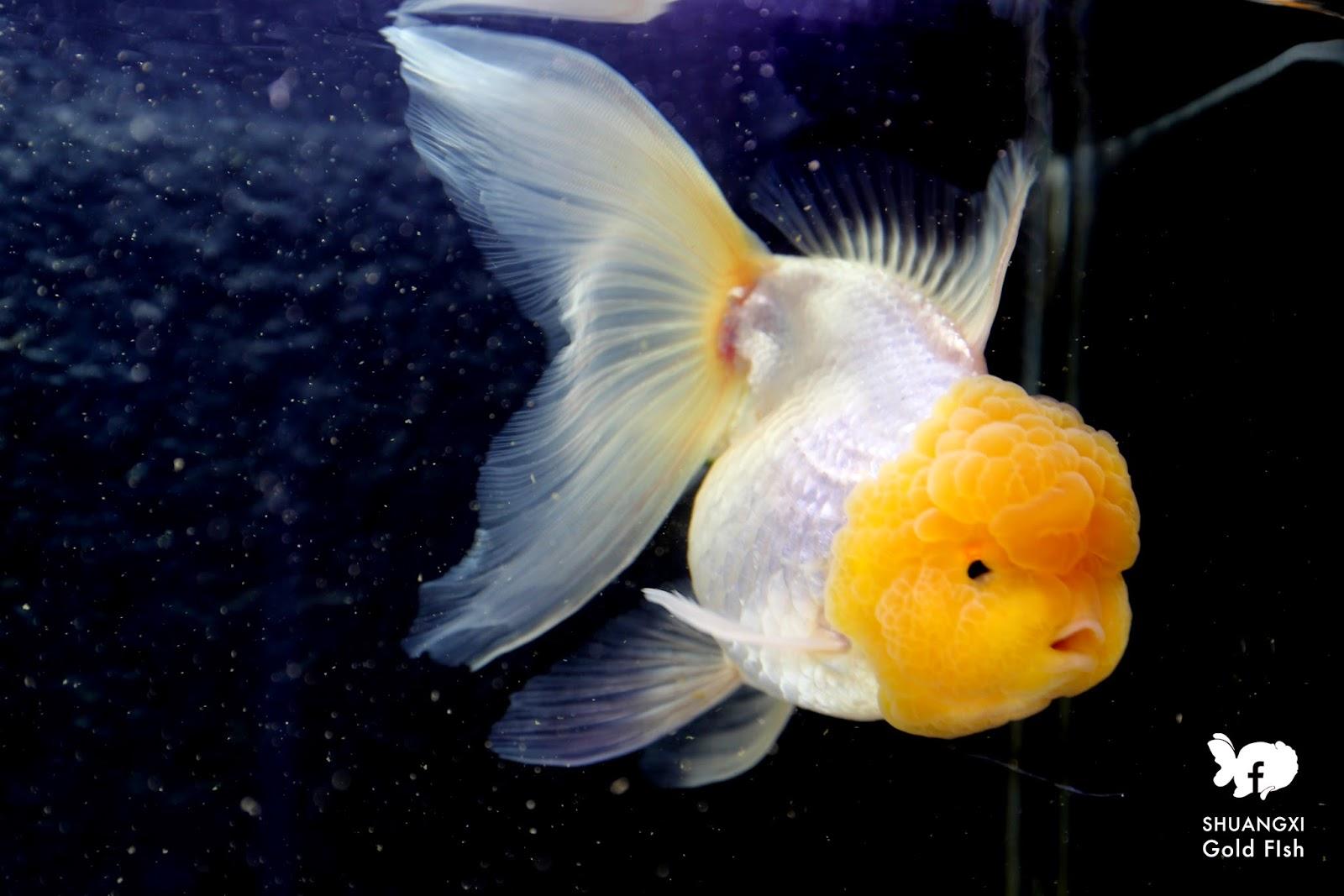 雙溪金魚錦鯉養殖場Shuangxi Goldfish & Koi farm:進出口蘭壽,彷彿佛朗名哥舞女郎撩起的裙擺一般。 有的巨人獅頭背鰭挺立飄舞,就進兩年而言,蝶尾: 泰國獅頭1號/奶油玉兔