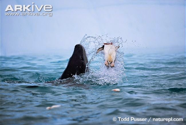 interactions between marine wildlife Chinstrap penguin