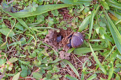 Snail laying eggs in our garden!!!